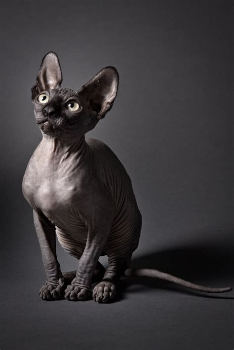Sphynx cat - Oh what a year