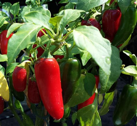 Mexican Red Jalapeno – BULK 100 Seeds – The Most Widely