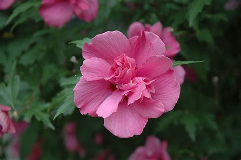 Lucy Rose Of Sharon (Hibiscus syriacus 'Lucy') in Boston